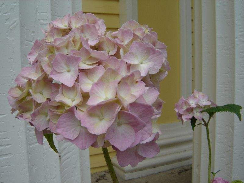 Pink_and_yellow_hydrangea