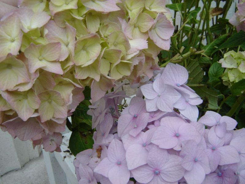 Pastel_petals