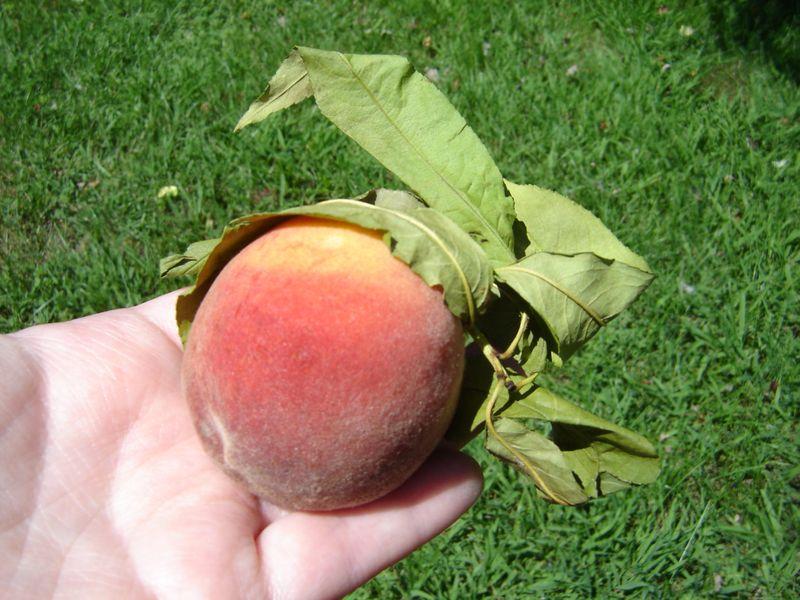 Heather's peach